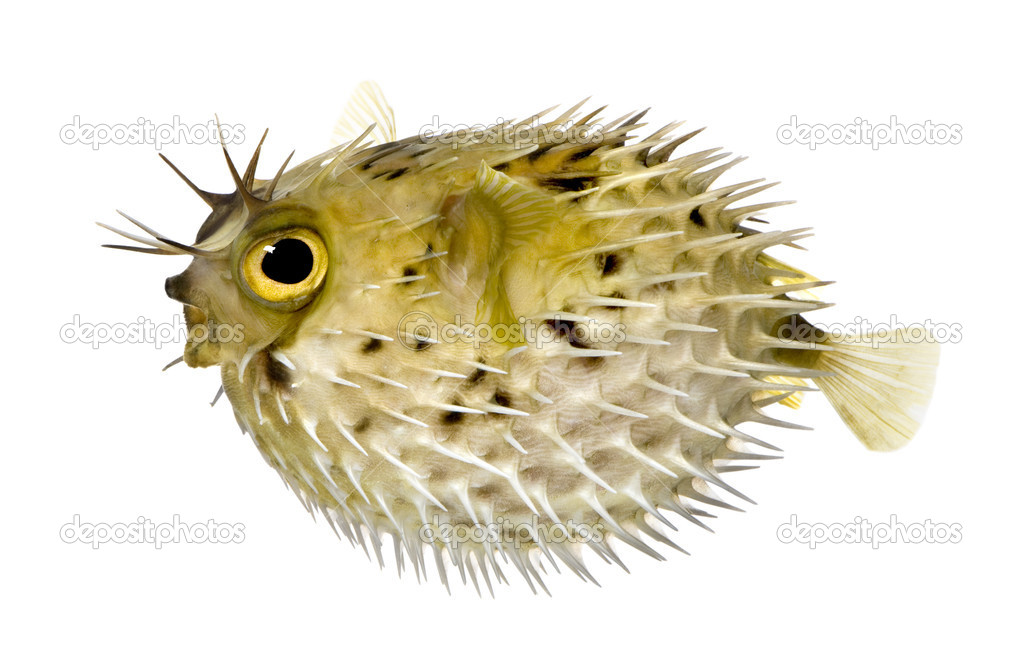 Long-spine porcupinefish also know as spiny balloonfish - Diodon holocanthus in front of a white background  Stock Photo #10879380