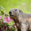 Alpine Marmot - Marmota marmota — Stock Photo