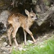 Roe deer Fawn - Capreolus capreolus (15 days old) - Stock Photo