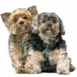 Couple of Yorkshire Terrier, sitting (7 years old) - Stock Photo
