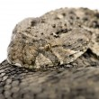 African puff adder - Bitis arietans — Stock Photo