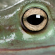 Stock Photo: Close-up of AustraliGreen Tree Frog, Litoricaerulea