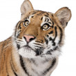 Close-up portrait of Bengal tiger, Panthera tigris tigris, 1 yea - Stock Photo