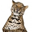 Stock Photo: Leopard, Pantherpardus, lying in front of white background