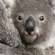 Stock Photo: Close-up of Koalbear, Phascolarctos cinereus, 9 months old