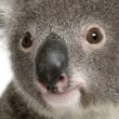 Close-up portrait of male Koala bear, Phascolarctos cinereus, 3 years old — Stock Photo