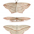 Постер, плакат: Blood vein moths Timandra comae