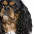 Cavalier King Charles Spaniel, 2 years old — Stock Photo