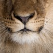Stock Photo: Close-up of lion's nose and whiskers, Panthera leo, 9 months old