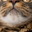 Close-up of Maine Coon's face with whiskers, 7 months old — Stock Photo #10883908
