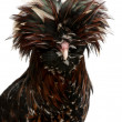Tollbunt tricolor Polish chicken, 6 months old, standing in front of white background — Stockfoto