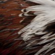 Close-up of Tollbunt tricolor Polish Rooster feathers, 6 months — Stock Photo