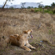 Stock Photo: Lioness lying down and yawning, Serengeti National Park, Serengeti, Tanzania