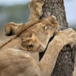 Lioness sharpening teeth on tree, Serengeti National Park, Seren - Stock Photo