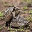 Two turtles mating - Photo