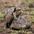 Two turtles mating - Stock Photo