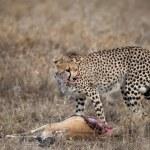 Cheetah sitting and eating prey, Serengeti National Park, Tanzania, Africa — Stock Photo