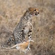 Cheetah sitting and eating prey, Serengeti National Park, Tanzania, Africa — Stock Photo #10884598