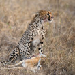 Stock Photo: Cheetah sitting and eating prey, Serengeti National Park, Tanzania, Africa
