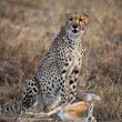 Cheetah sitting and eating prey, Serengeti National Park, Tanzania, Africa — Stock Photo #10884602