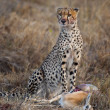 Cheetah sitting and eating prey, Serengeti National Park, Tanzania, Africa - Stock Photo