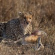 Cheetah sitting and eating prey, Serengeti National Park, Tanzania, Africa — Stock Photo #10884611