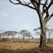 Landscape of Serengeti plain, Tanzania, Africa - Stock Photo