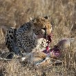 Cheetah sitting and eating prey, Serengeti National Park, Tanzania, Africa - Zdjcie stockowe