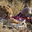 Cheetah sitting and eating prey, Serengeti National Park, Tanzania, Africa - Stok fotoğraf