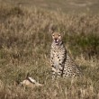 Cheetah sitting and eating prey, Serengeti National Park, Tanzania, Africa - Stock fotografie
