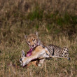 Cheetah sitting and eating prey, Serengeti National Park, Tanzania, Africa - Foto Stock