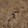Serval jumping, Serengeti National Park, Serengeti, Tanzania - Foto Stock