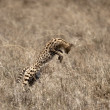 Serval leaping in Serengeti, Tanzania, Africa — Stock Photo