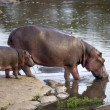 Stock Photo: Hippo and her cub, Serengeti, Tanzania, Africa