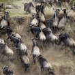 Wildebeest running in the Serengeti, Tanzania, Africa — Stock Photo