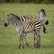 Stock Photo: Two zebras standing in field of grass