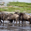 Wildebeest, Serengeti National Park, Serengeti, Tanzania, Africa - Stock Photo