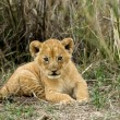 Stock Photo: Front view of lion cub, Serengeti National Park, Serengeti, Tanz