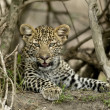 Stock Photo: Close-up of leopard, Serengeti National Park, Serengeti, Tanza