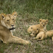Lioness lying with her cubs in grass, looking at camera - Foto Stock