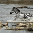 Stock Photo: Zebrcrossing river, Serengeti National Park, Serengeti, Tanzan