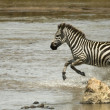 Zebra running through river in the Serengeti, Tanzania, Africa - Стоковая фотография