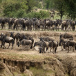 Stock Photo: Wildebeest, Serengeti National Park, Serengeti, Tanzania, Africa