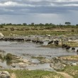 Wildebeest crossing the river in the Serengeti, Tanzania, Africa - Стоковая фотография