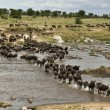 Wildebeest, crossing river Mara, Serengeti National Park, Sereng - Foto Stock