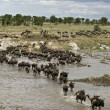 Wildebeest, crossing river Mara, Serengeti National Park, Sereng — Stock Photo #10884763