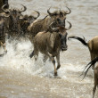 Wildebeest running in river in the Serengeti, Tanzania, Africa — Stock Photo #10884770