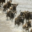 Wildebeest running in river in the Serengeti, Tanzania, Africa — Stock Photo #10884776