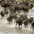 Stock Photo: Wildebeest running in river in Serengeti, Tanzania, Africa