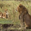 Stock Photo: Adult lion sitting and two lionesses in background, side vie